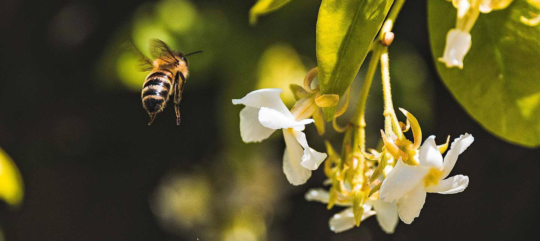 image of a bee approaching a flower
